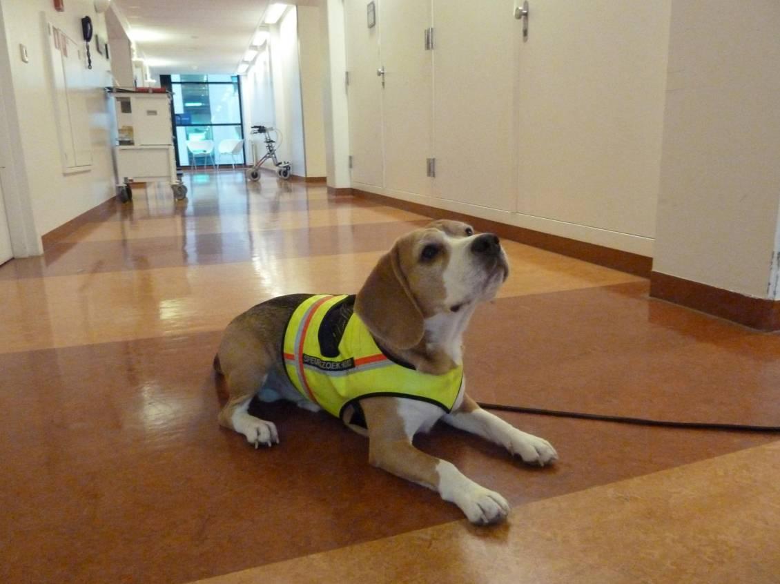 Cliff, un beagle de dos años, fue entrenado durante dos meses. Imagen: British Medical Journal.