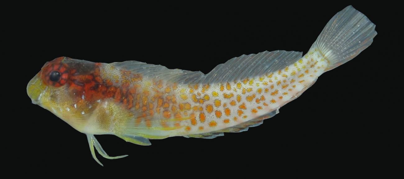Este nuevo trambollo difiere de otros peces Hypleurochilus por su patrón de colores