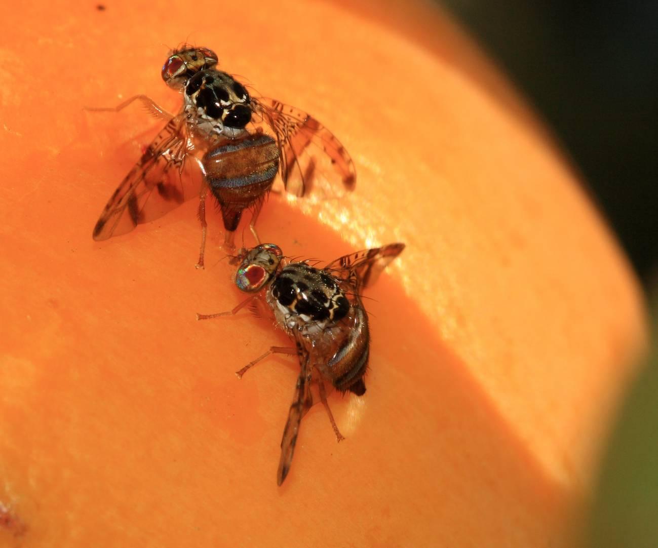 Estudiar el cerebro de la mosca de la fruta para entender funciones complejas del sistema nervioso