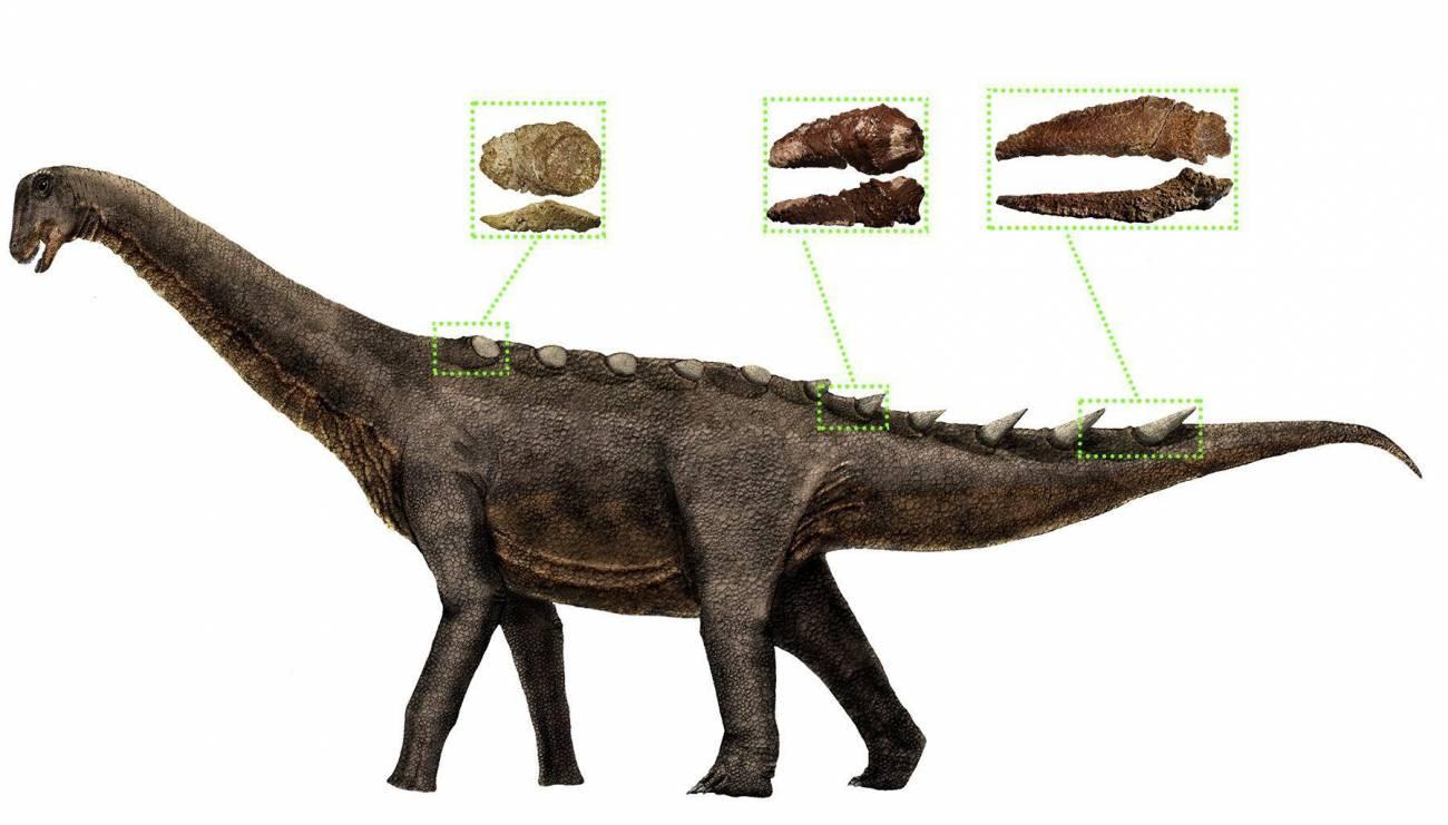 Reconstrucción de la armadura dérmica de los saurópodos titanosaurios, los últimos dinosaurios gigantes. / UNED