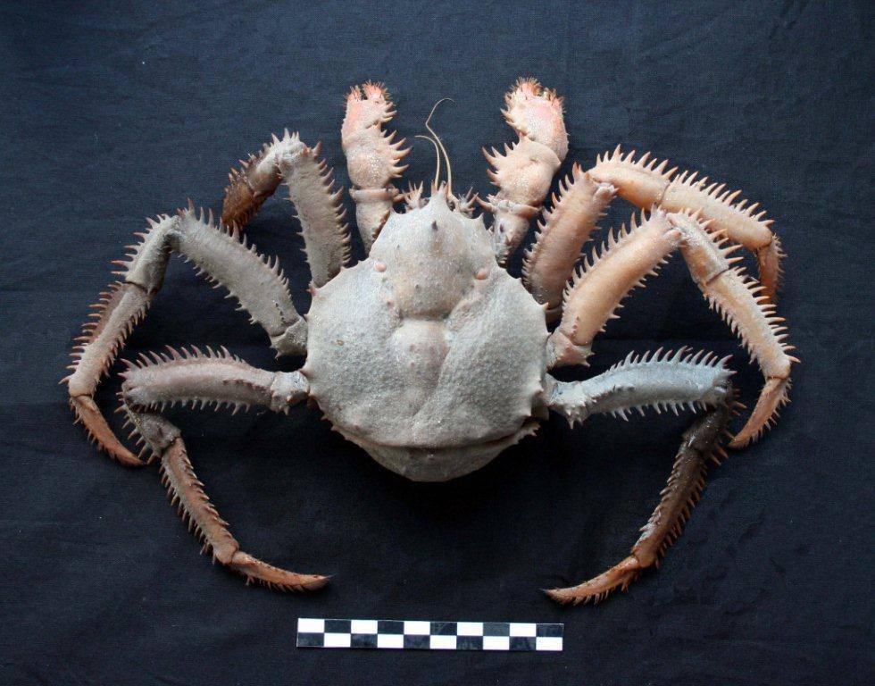 La nueva especie de cangrejo descubierta en Namibia y bautizada como Paralomis macphersoni. / IEO