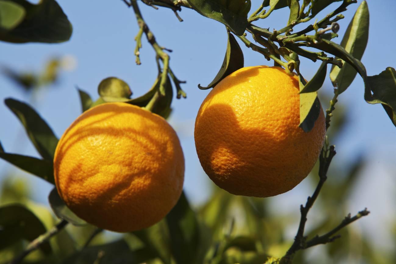 Las naranjas del CSIC tienen más β‐caroteno en la pulpa, mayor capacidad antioxidante y crecidas en plantas con un periodo de floración de apenas 4 meses. / CSIC