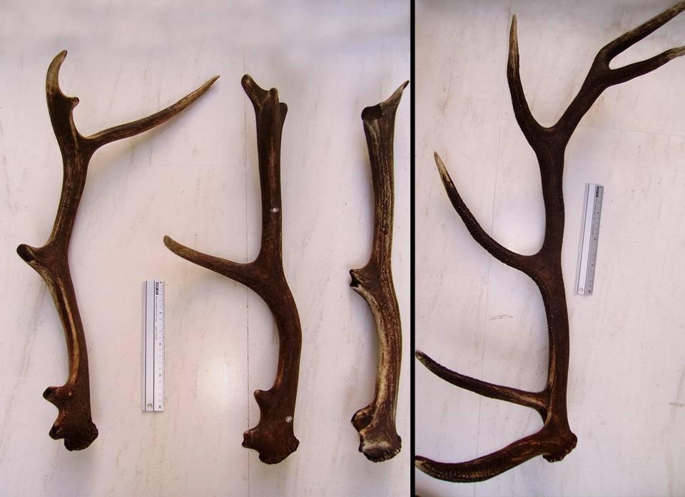 La cuerna de los ciervos inspira una nueva teoría sobre la osteoporosis