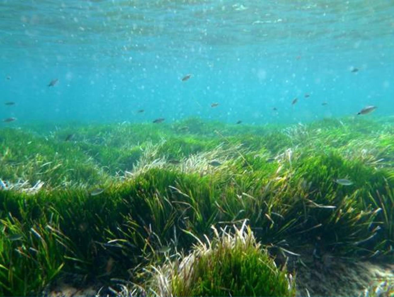 Pradera de Posidonia oceanica en Formentera (Islas Baleares). Imagen: Rachel Sussman.