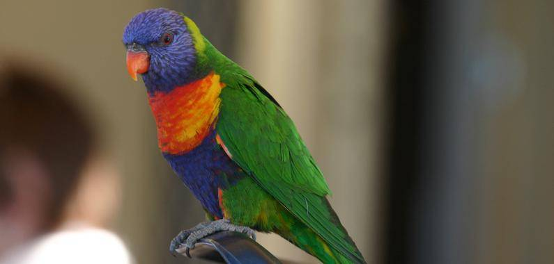 'Rainbow Lorikeet' esperando comida en un restaurante de Nelson Bay (Australia). / Dani Sol - CSIC.