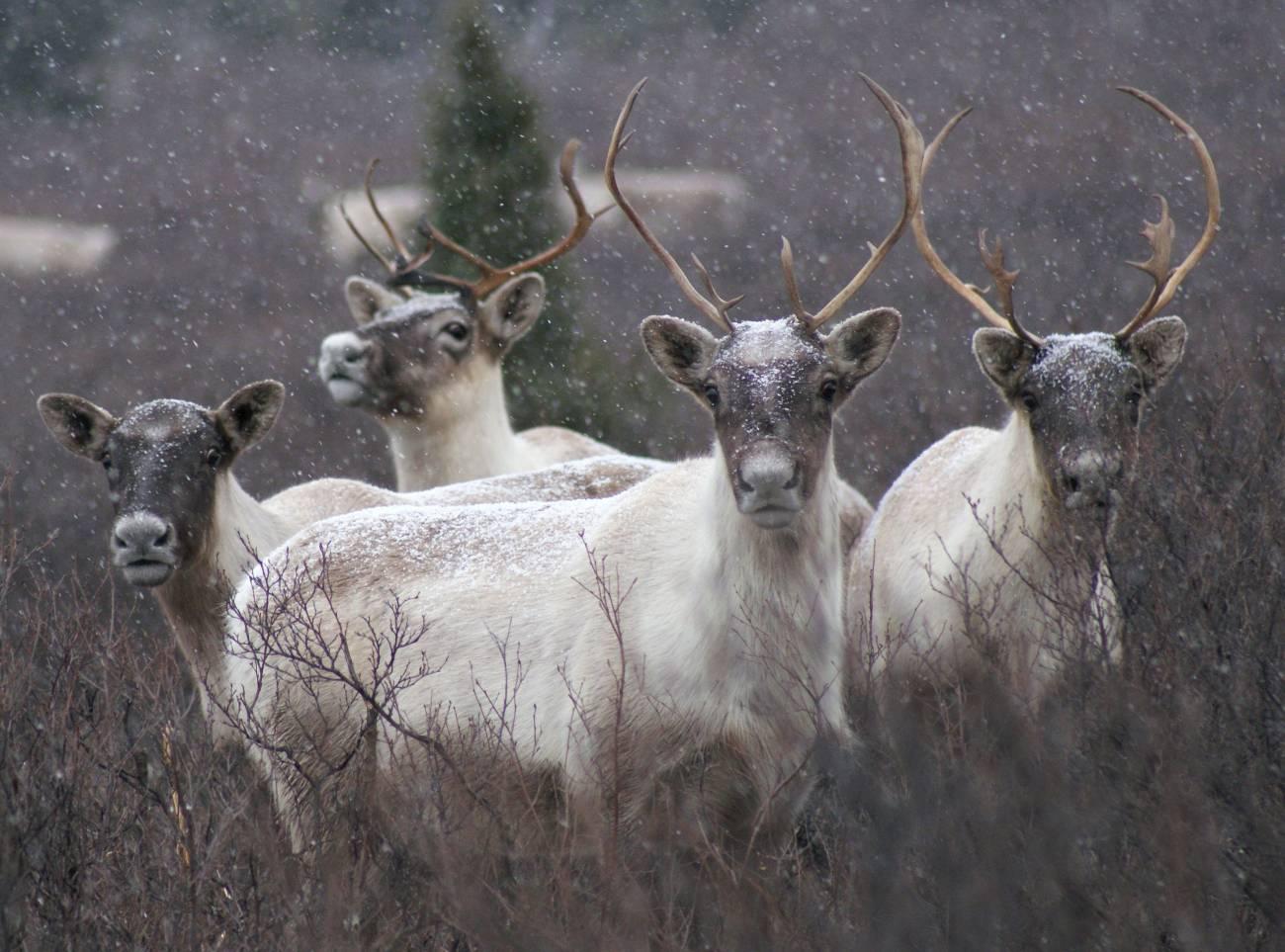 El reno o caribú se distribuye por las regiones polares y boreales de América y Eurasia./ CSIC
