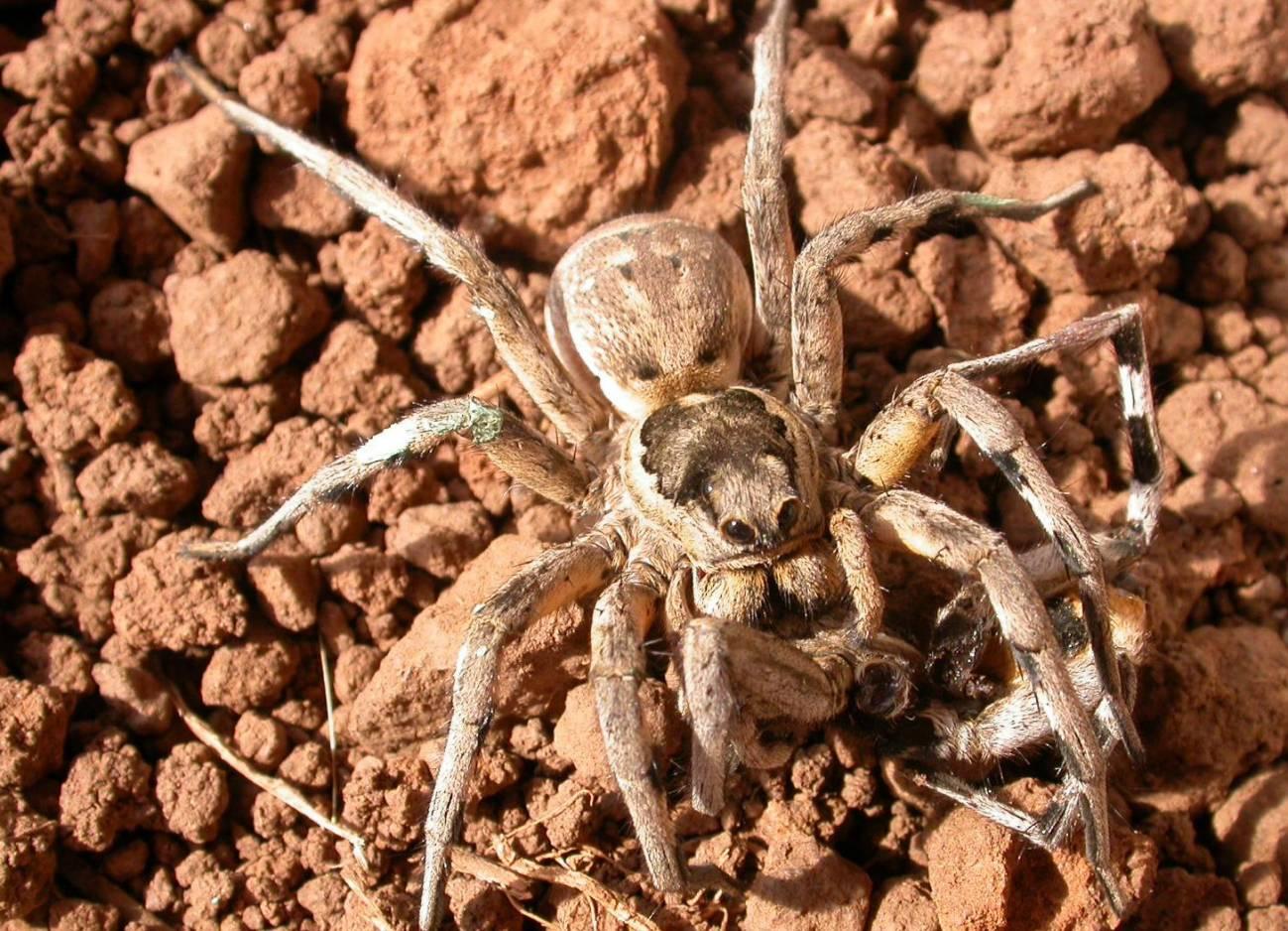 En la imagen se puede observar a la tarántula mediterránea Lycosa hispanica comiéndose al macho. / Eva de Mas
