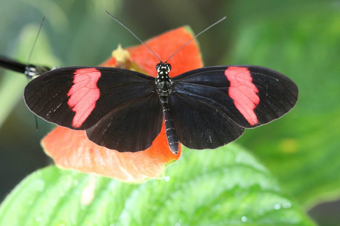 Un ejemplar de la mariposa secuenciada (Heliconius melpomene). Imagen: Chris Jiggins (Universidad de Cambridge)