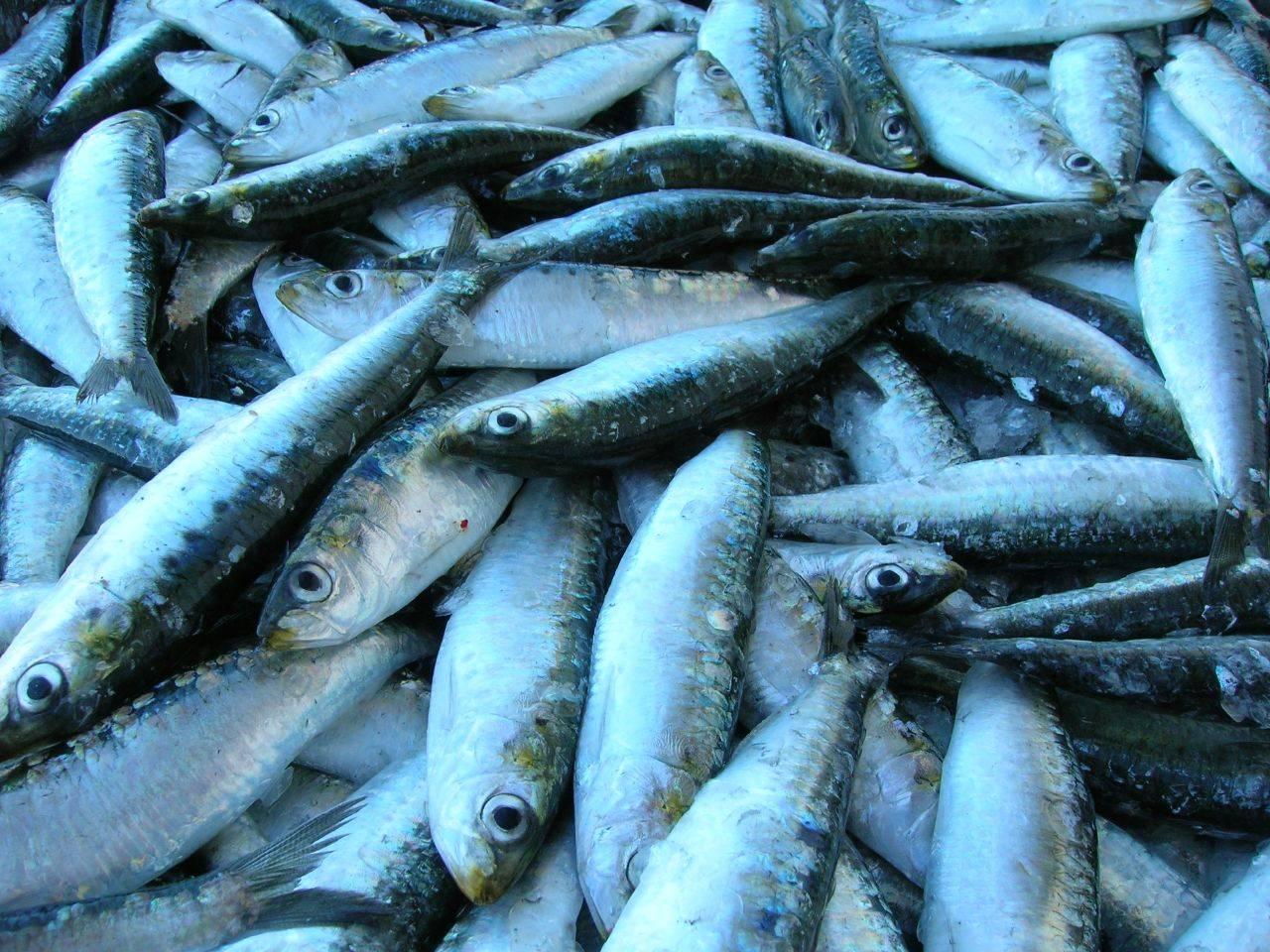 La pesca de sardinas perjudica a los ecosistemas marinos.