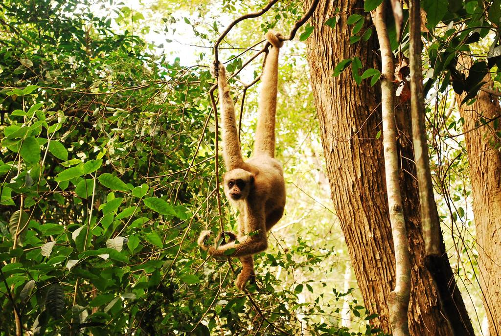 El muriqui del norte (Brachyteles hypoxanthus), que vive en los bosques húmedos costeros de Brasil, está en peligro crítico de extinción debido a la caza y a la destrucción de su habitat. Imagen: Paulo B. Chaves.