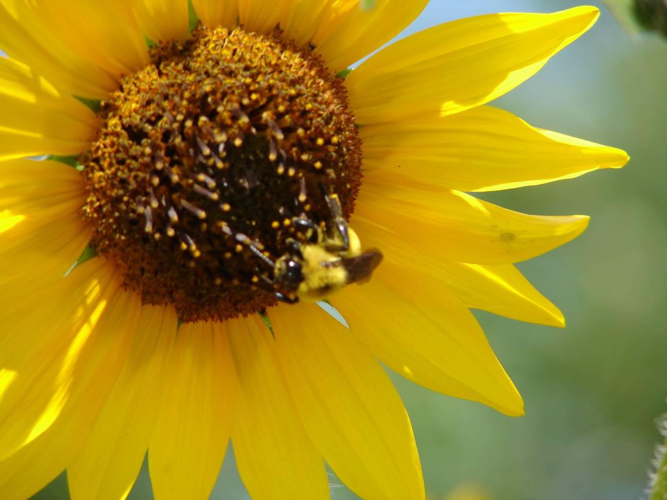 Las abejas actúan como polinizadores naturales.