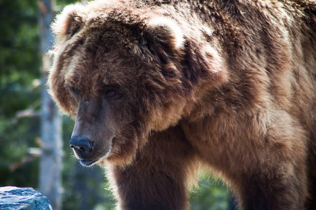Oso grizzly, uno de los mayores mamíferos terrestres de América. Imagen: Nomadic Lass