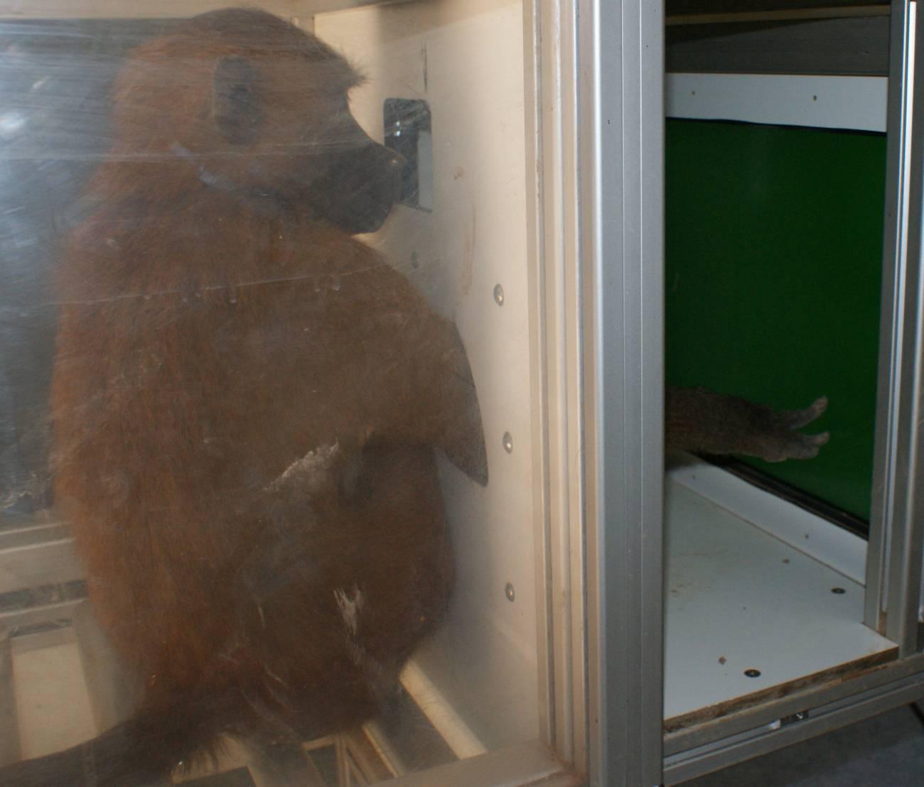 Los babuinos reconocen palabras escritas