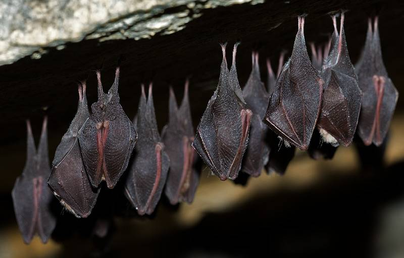 Murciélagos grande de herradura (Rhinolophus ferrumequinum). / Gareth Jones.