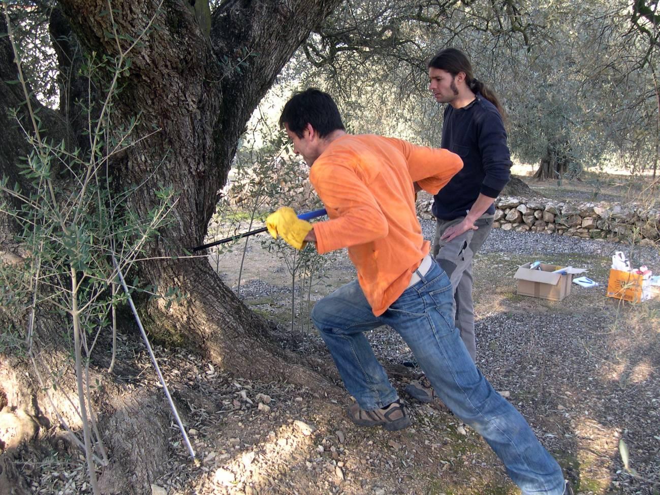 Investigadores del CREAF han investigado la edad de los olivos (Olea europea) 'milenarios' de la región litoral del Montsià, en Cataluña. Imagen: CREAF