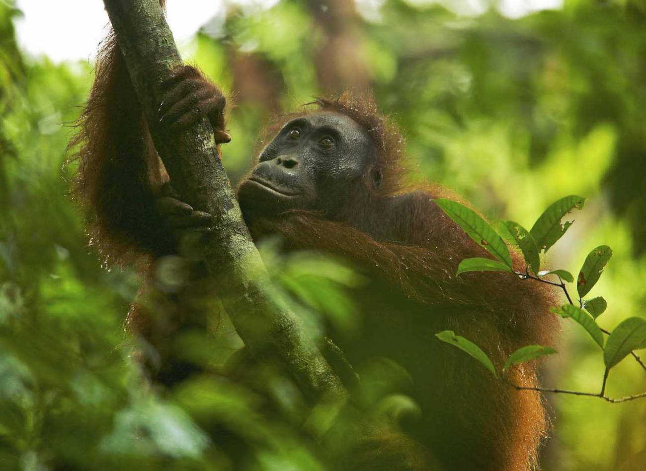 Orangután. Imagen: Tim Laman