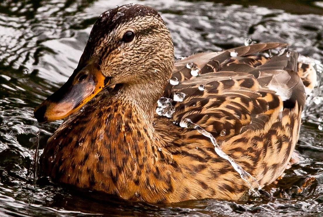 Las fibras naturales de las plumas de los patos producen aislamiento térmico exterior y repelen el agua. Imagen: Steve-h