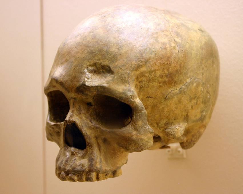 El equipo comparó los genomas completos del ADN mitocondrial de Arabia y el Cercano Oriente con una base de datos de cientos de muestras de Europa. En la fotografía, cráneo de Homo sapiens. Imagen: Ryan Somma.