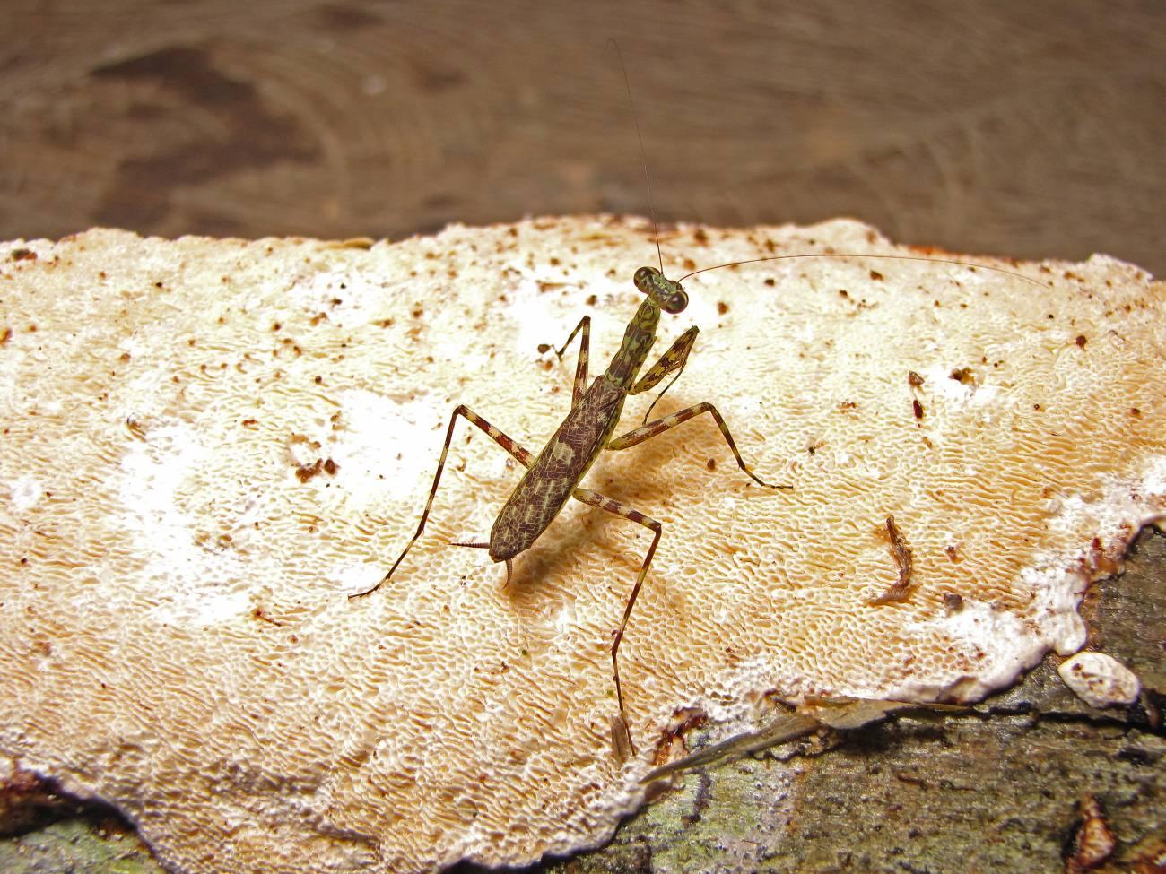 Una nueva especie de mantis religiosa