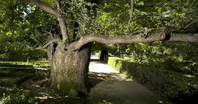El olmo singular del Jardín Botánico, apodado Pantalones. / CSIC.