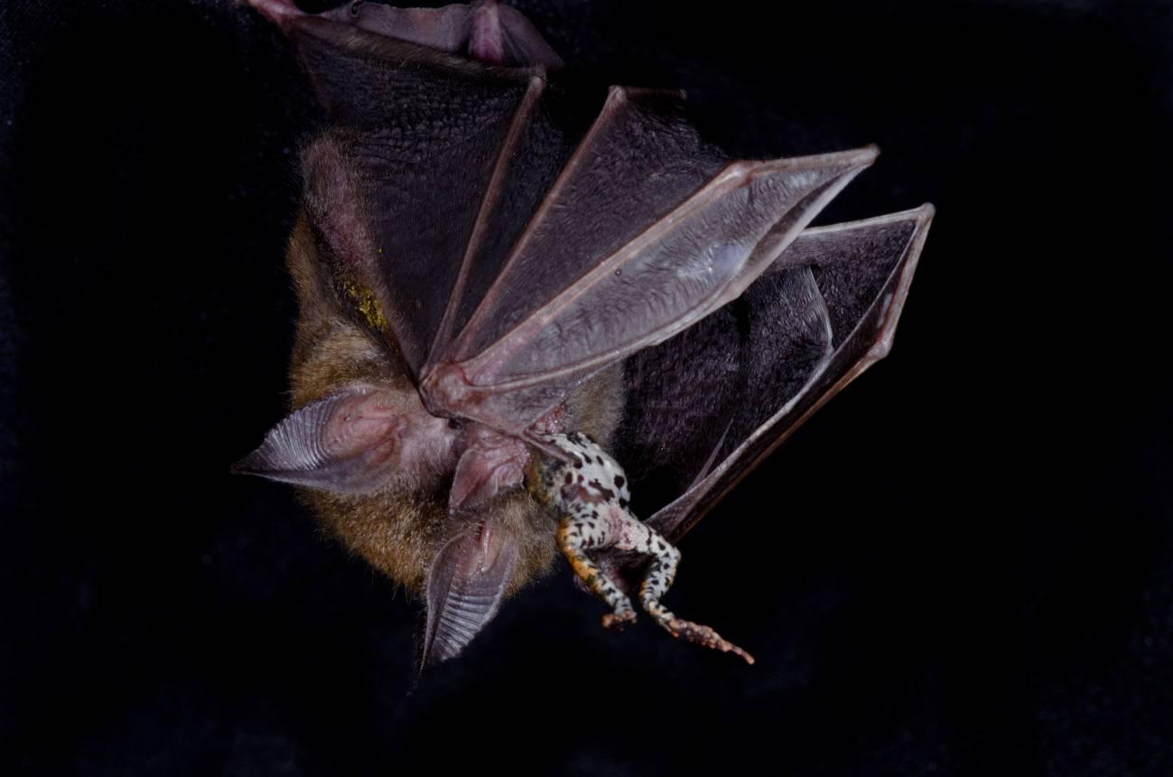 Ranas hembra y murciélagos perciben de igual manera las señales de las ranas macho