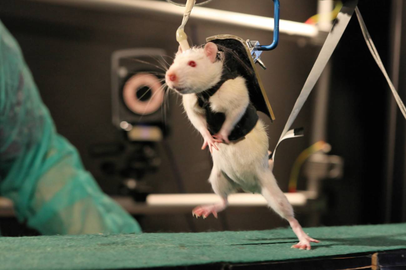 Tras dos semanas de rehabilitación, combinando un arnés robótico y estimulación electroquímica, las ratas pueden caminar y correr. Imagen: EPFL