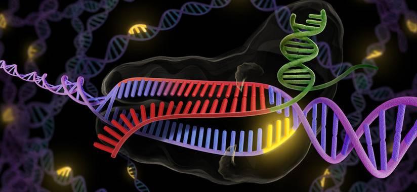 La herramienta utilizada para esta edición genética se llama CRISPR y actúa como unas tijeras de ADN. / Universidad de Berkeley