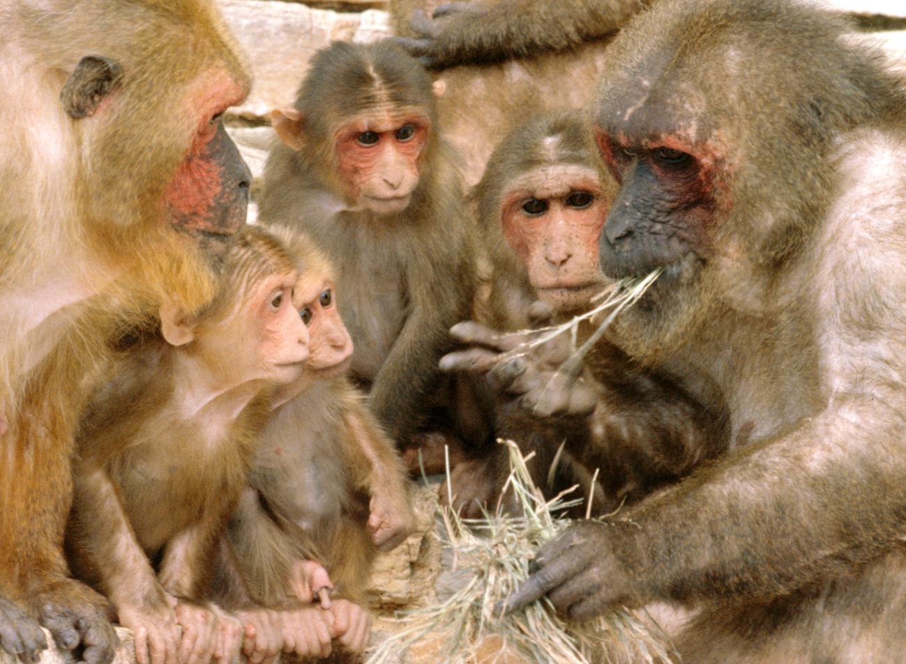 Macaca arctoides. Imagen: Wikipedia