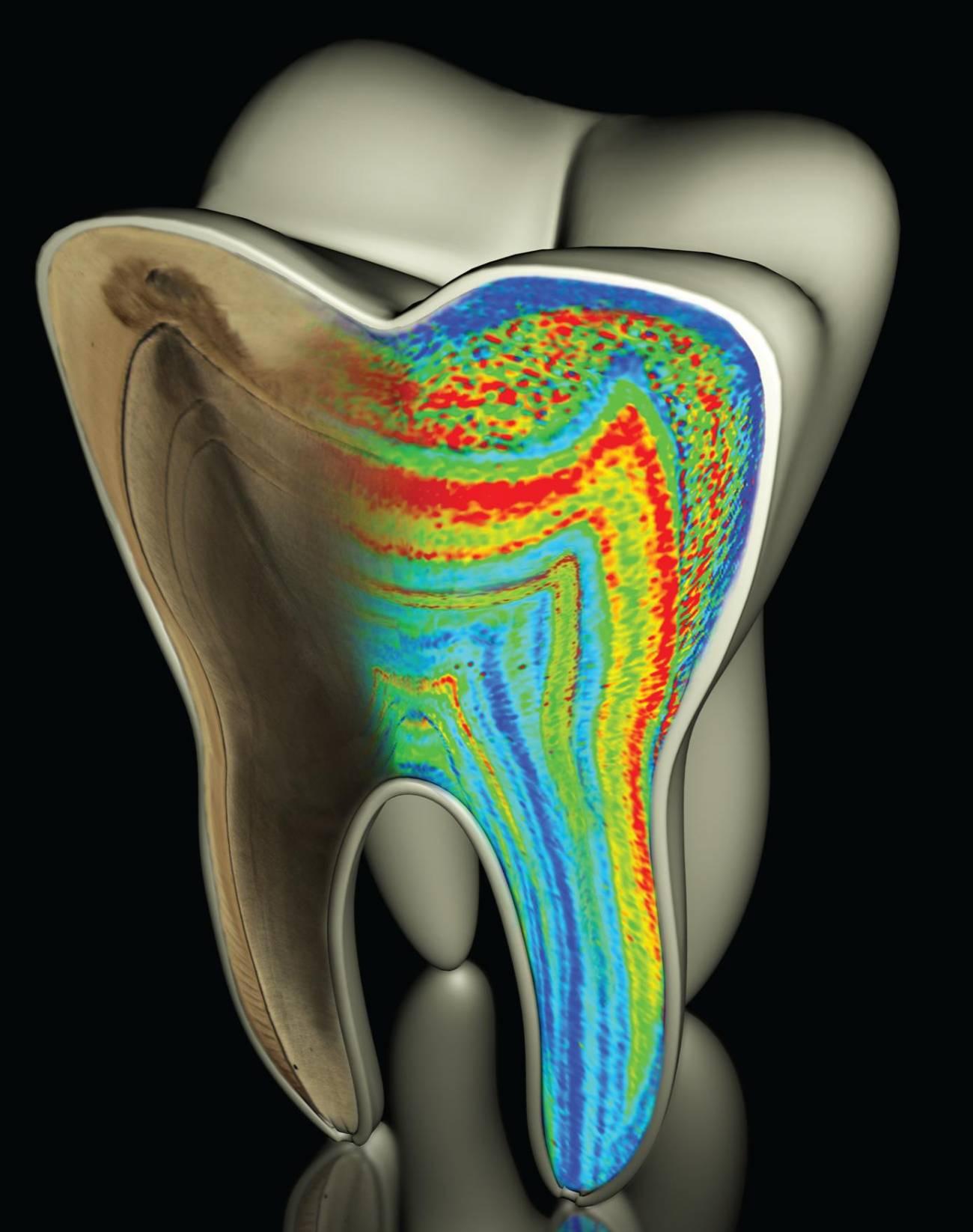 Los niveles de bario de los dientes ayudan a saber la edad de destete. / Austin et al. (Nature)