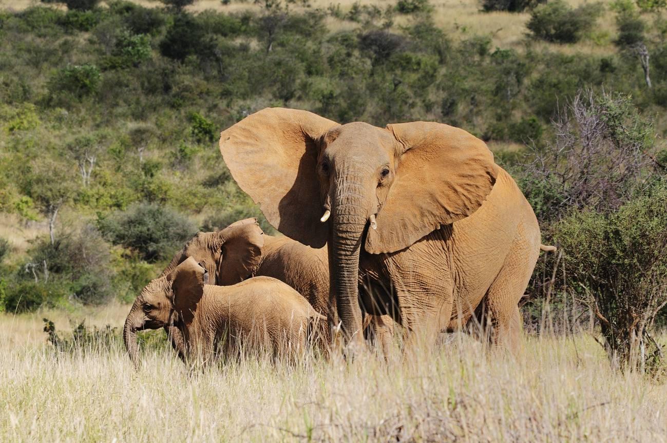La población de elefantes está disminuyendo a un ritmo del 2% cada año en África a causa de la caza furtiva. / Miquel García