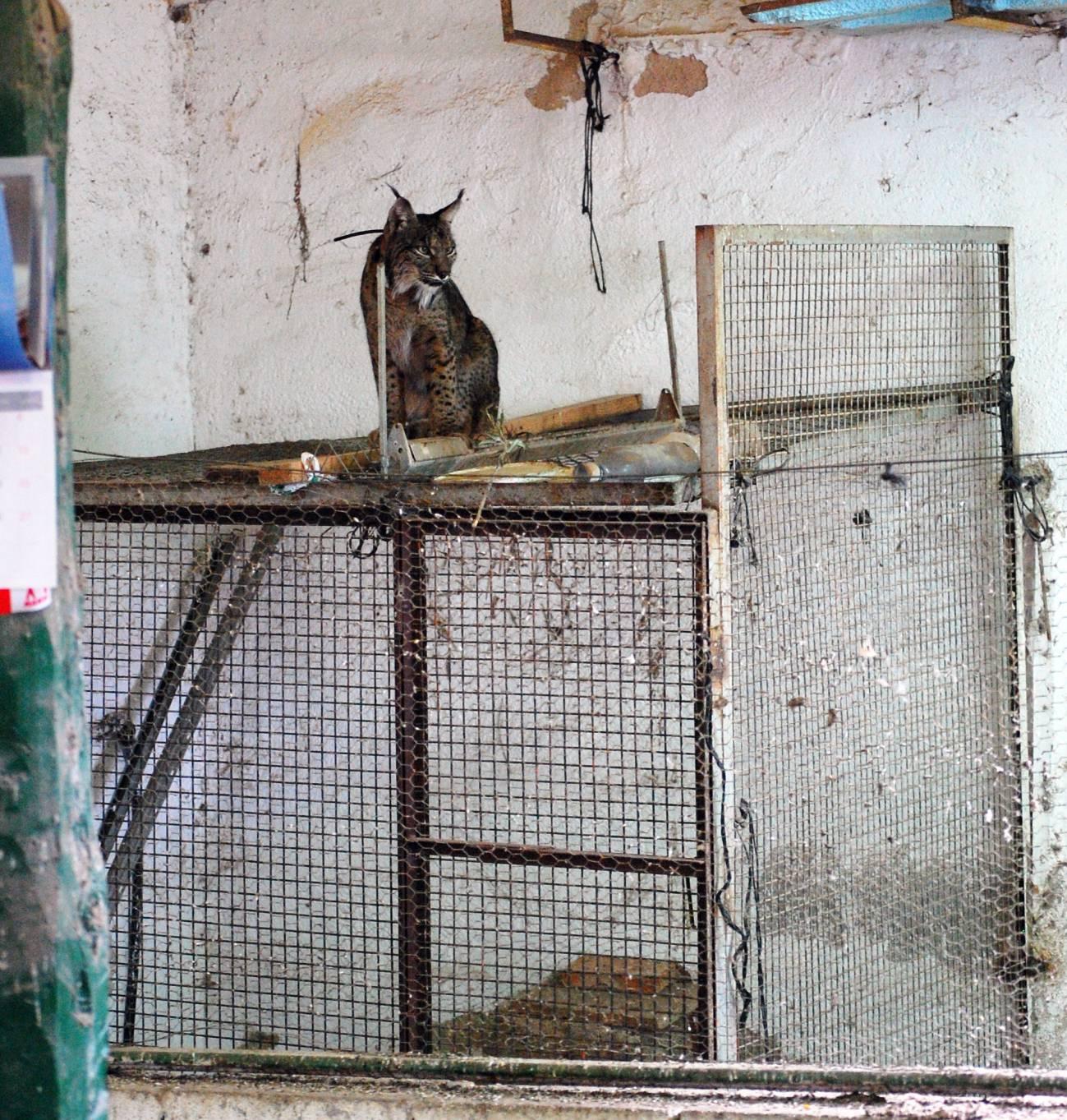 Lince en un gallinero / G. Garrote