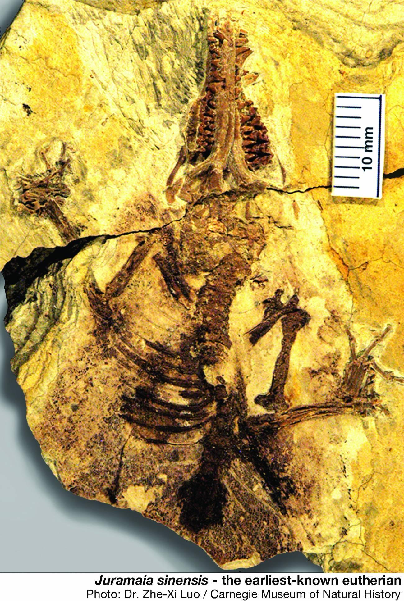 Un fósil de 160 millones de años revela el origen de los mamíferos con placenta