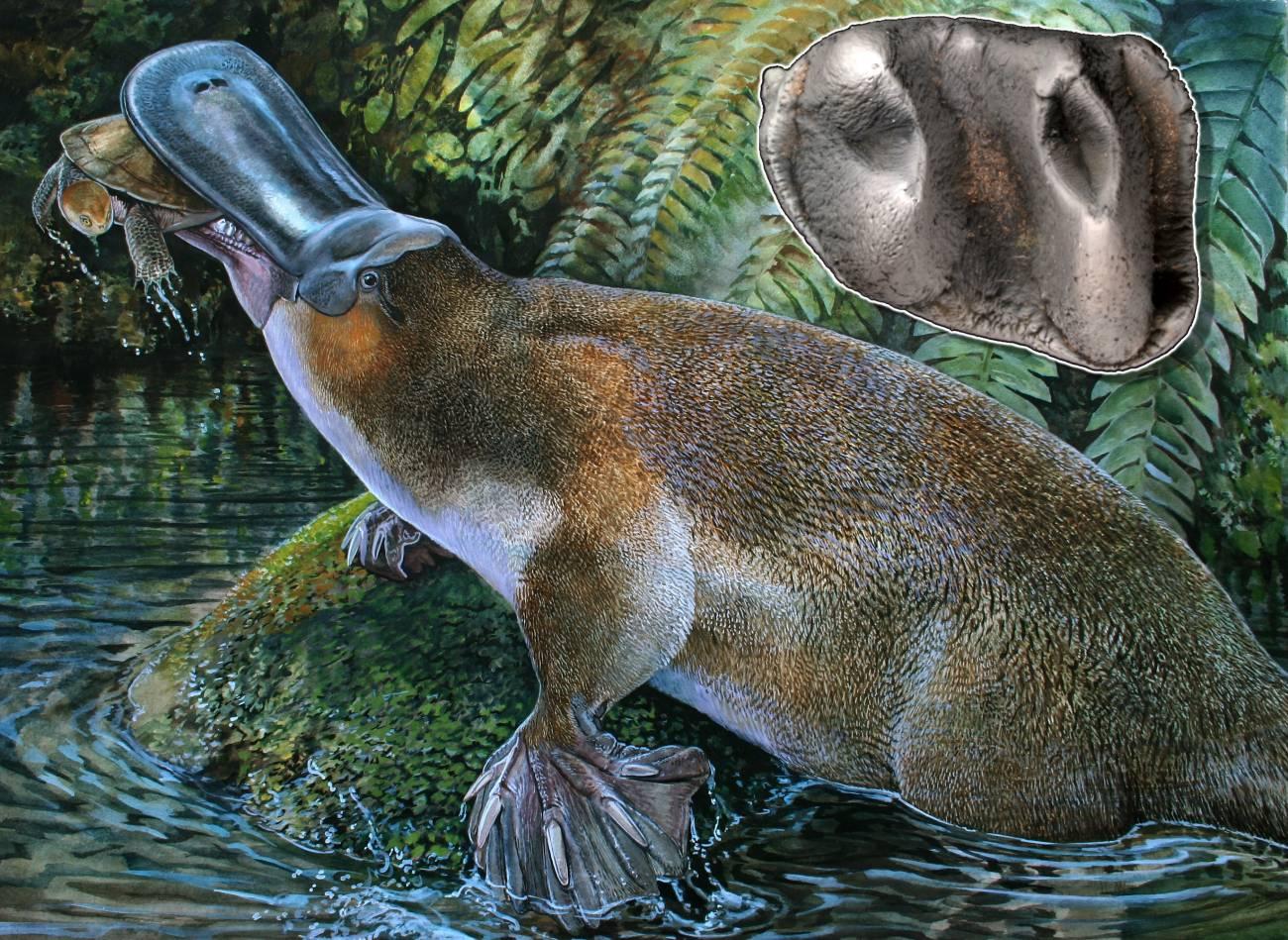 Reconstrucción de la especie Obdurodon tharalkooschild. / Peter Schouten.