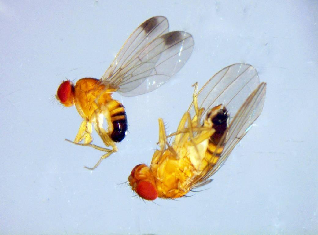 Una mosca invasora asiática se apodera de las frutas españolas.