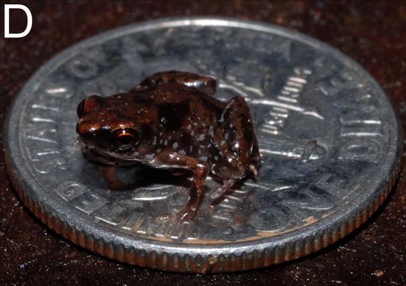 El vertebrado más pequeño del mundo sobre una moneda de 10 centavos de dólar.