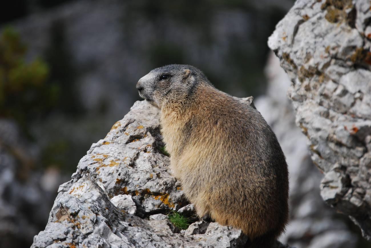 La marmota alpina se extiende en el Pirineo catalán