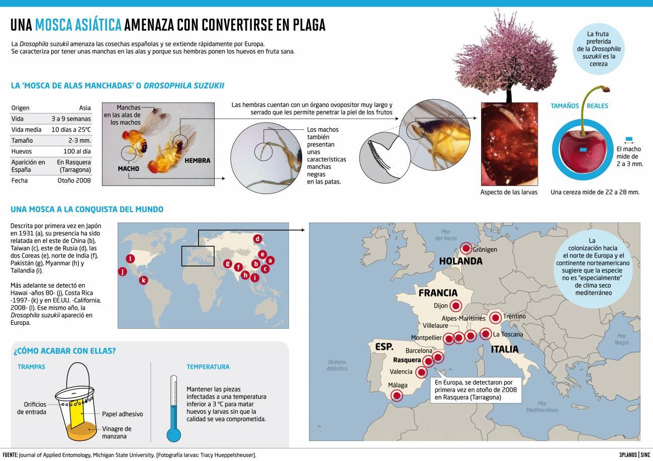 Una mosca invasora asiática se apodera de las frutas españolas