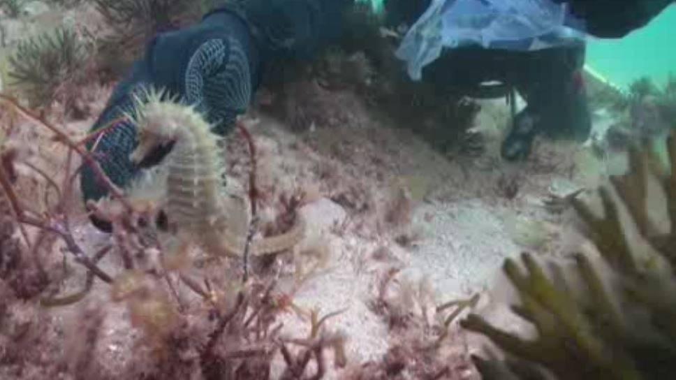 Investigadores del CSIC encuentran caballitos de mar en Galicia