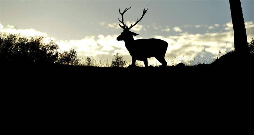 Berrea del ciervo en Sierra Morena.