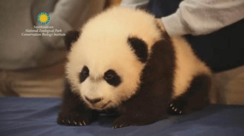 El panda Bei Bei, estrella en su debut público