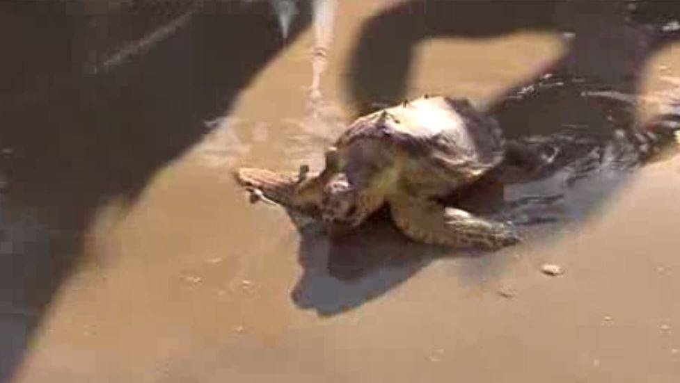 Encuentran un nido de huevos de tortuga boba en una playa valenciana