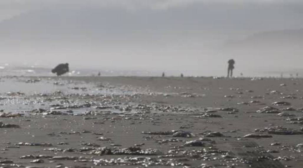 Playa afectada por la contaminación del marisco chileno