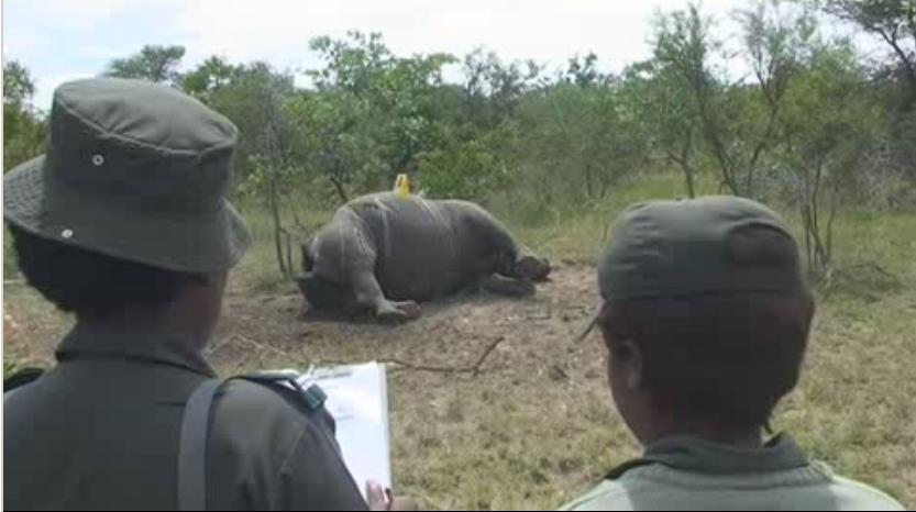 Autopsia a un rinoceronte.