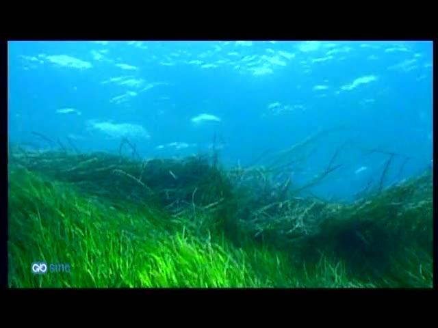 Las praderas de Posidonia reflejan el nivel de contaminación del Mediterráneo