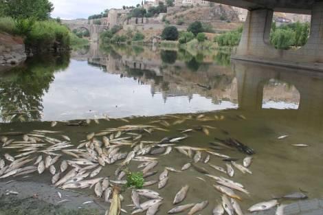Miles de peces aparecen muertos en el Tajo en Toledo