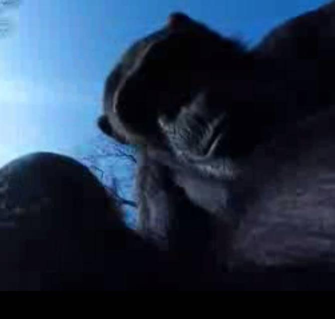 """Tushi, la chimpancé, contra el dron """"espía"""""""
