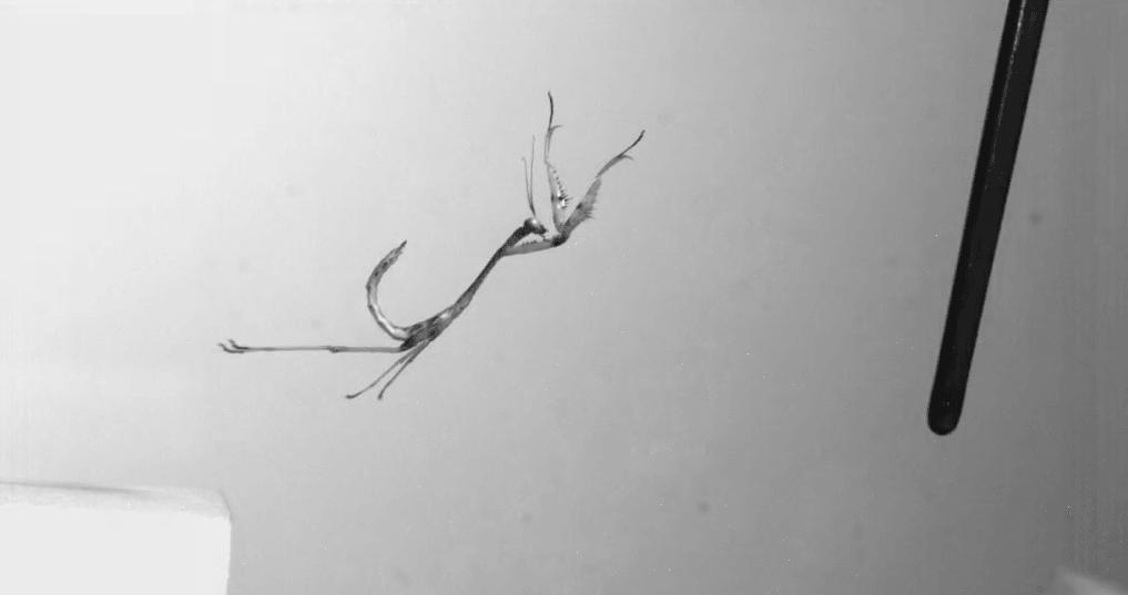 Salto de mantis