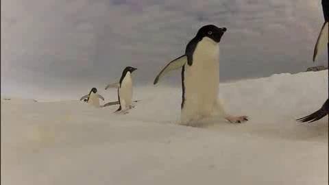 Los pingüinos Adelaida miden unos 76 centímetros y pesan 4 kilos.