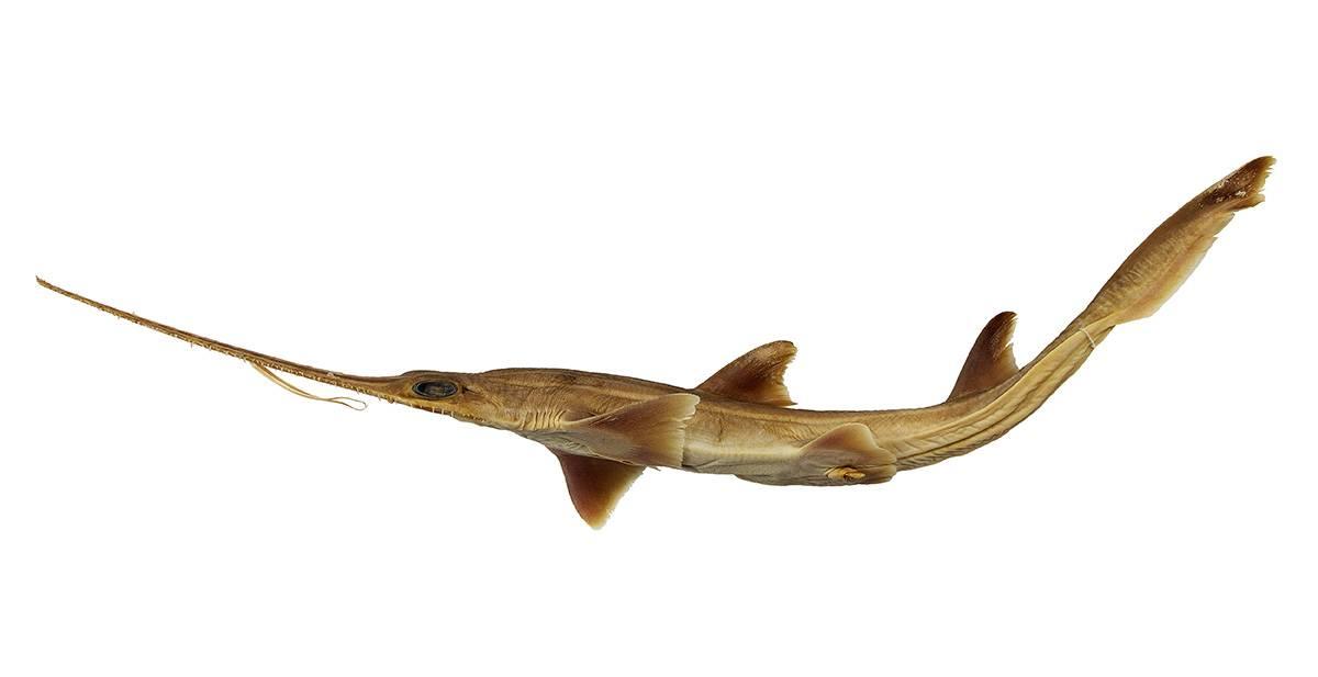 Pliotrema kajae, uno de los dos tiburones sierra encontrados en el océano Índico. / Simon Weigmann et al.