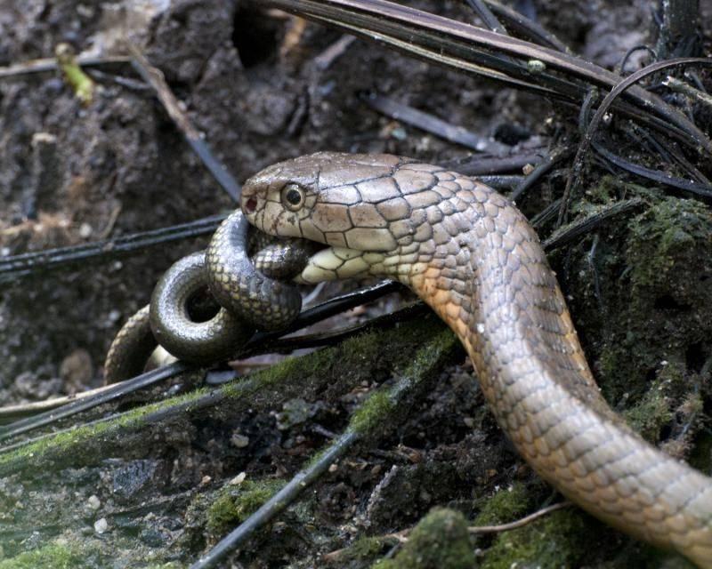 Un ejemplar de Cobra Real. / EOL